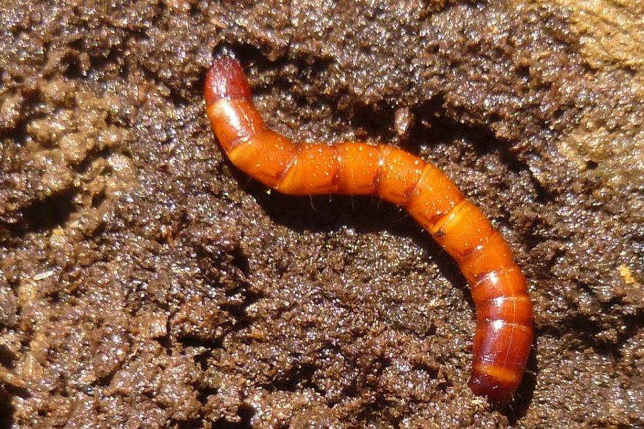 Viermele sarma (Agriotes spp): descriere, simptome, combatere