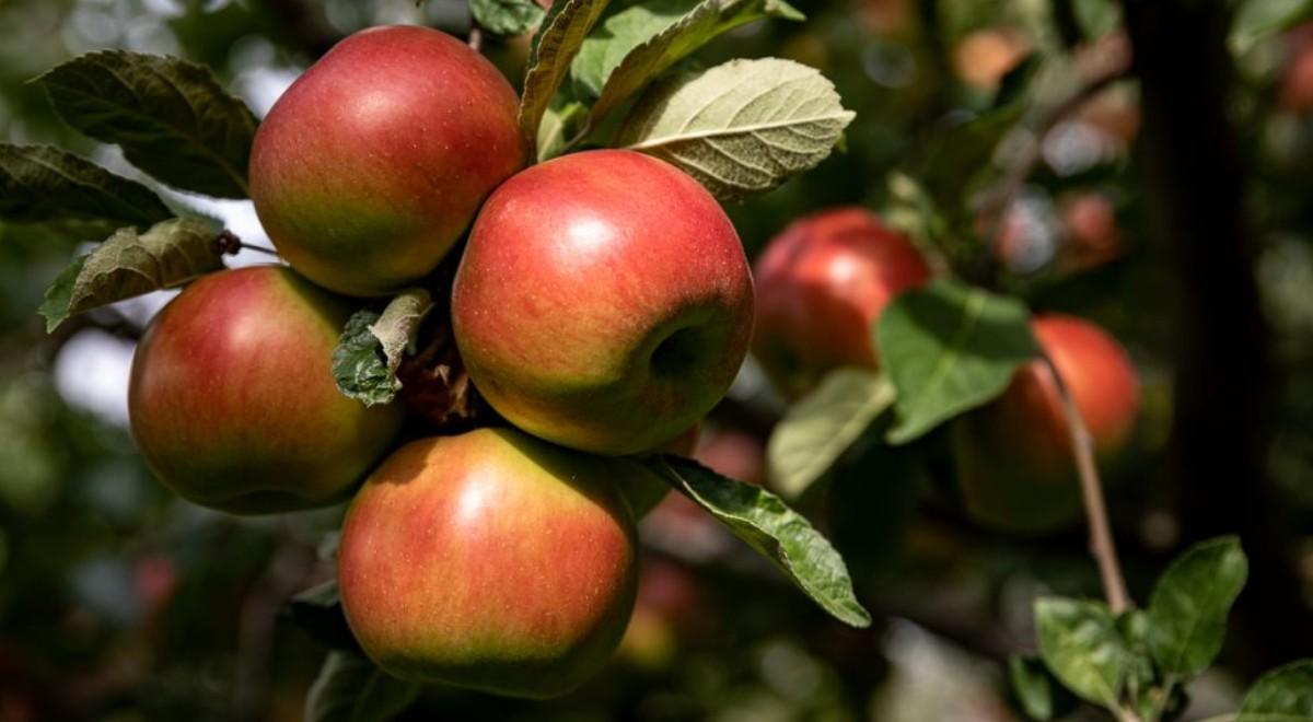 6 cele mai bune soiuri de mere pentru clima din Romania