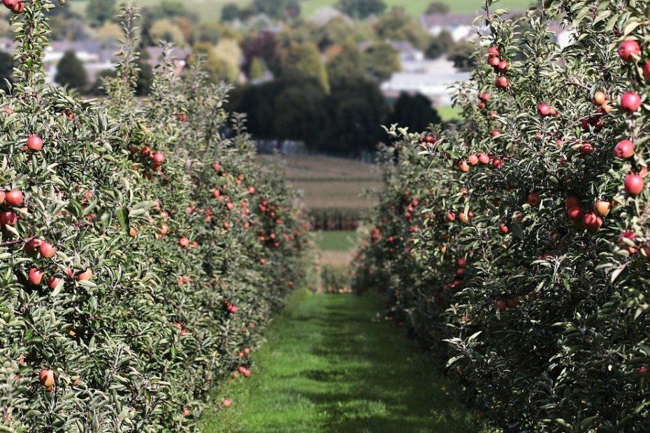 La ce distanta se planteaza pomii fructiferi