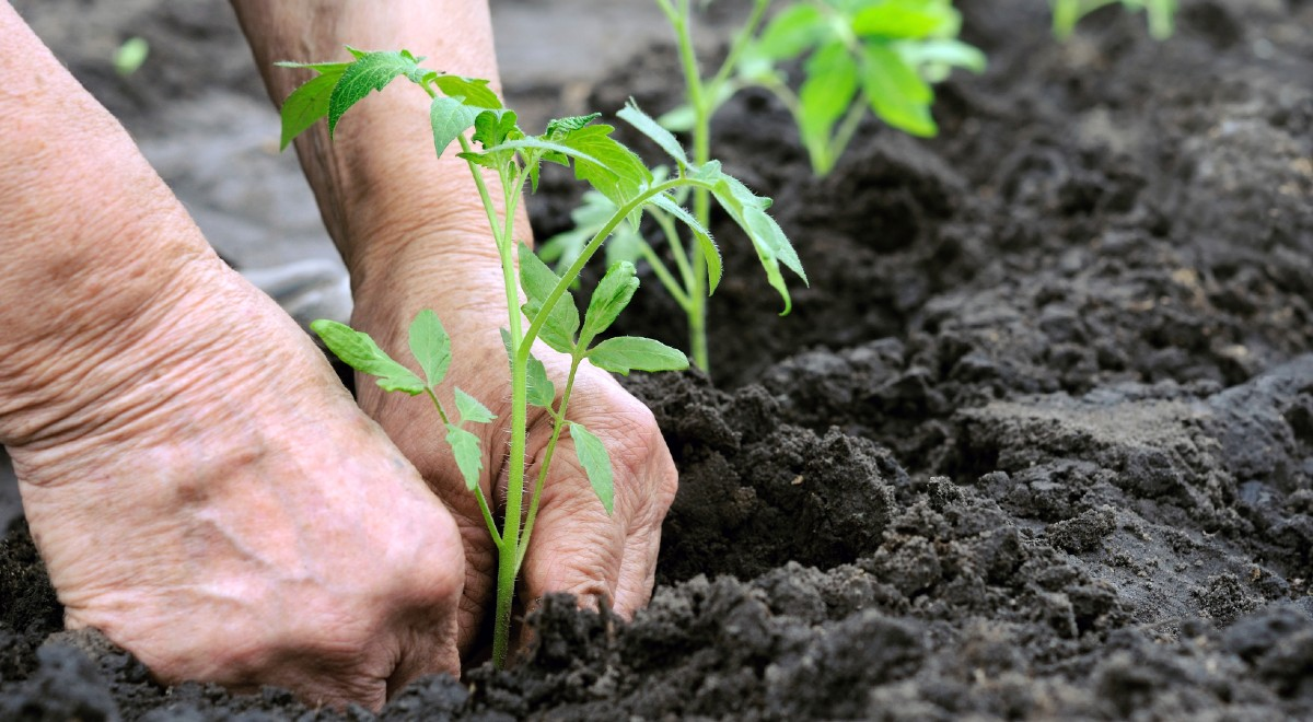 La ce distanta se planteaza rasadurile de legume