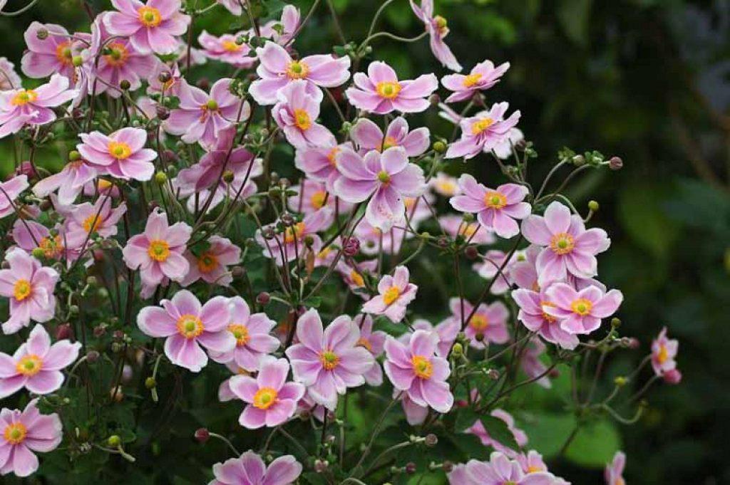 Anemonele japoneze (Robustissima)
