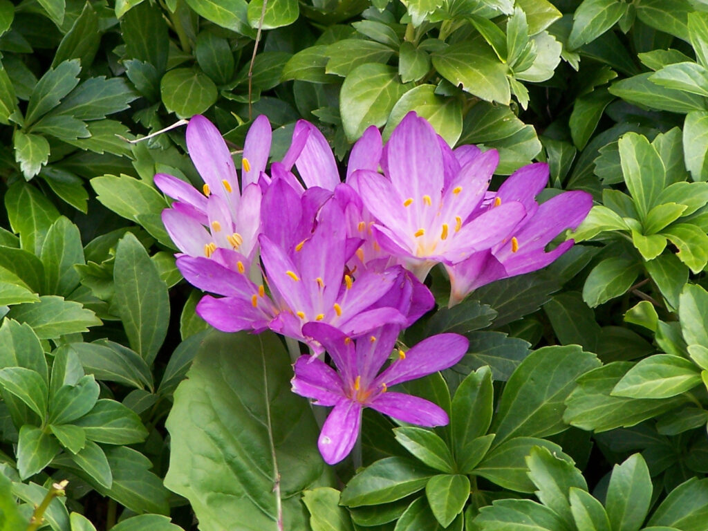 Brandusa de toamna (Colchicum autumnale)