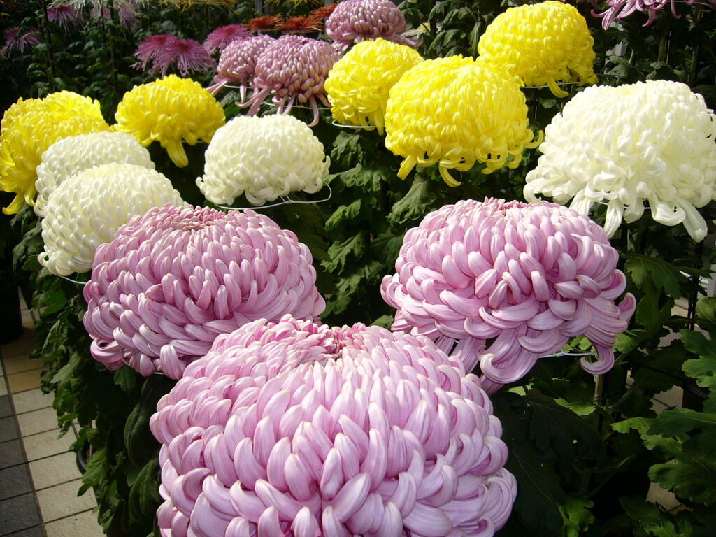 Crizantema (Chrysanthemum)