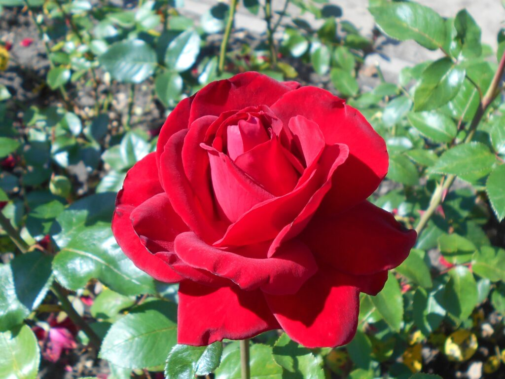 Trandafirul (Rosa)