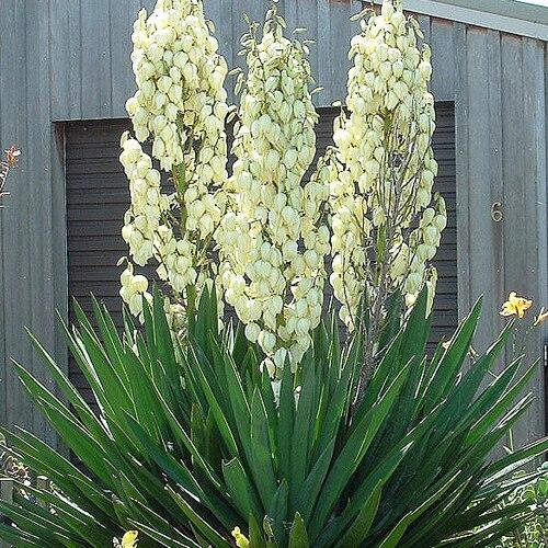 Yuca de gradina (Yucca Filamentosa)
