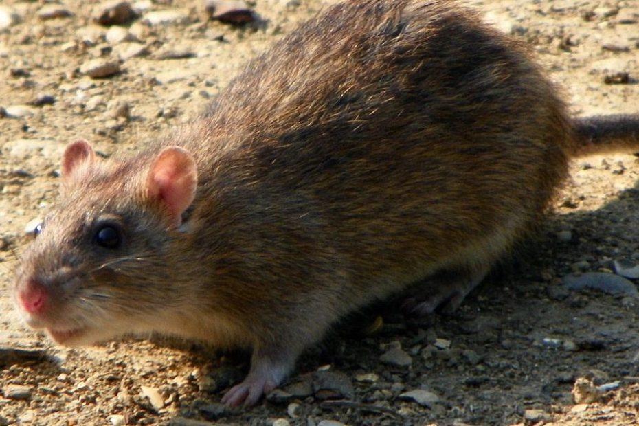 Sobolanul de casa cenusiu (Rattus Norvegicus)