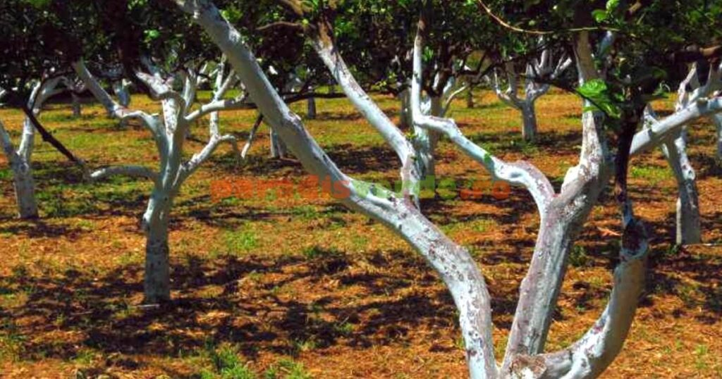 De ce trebuie sa varuim pomii fructiferi