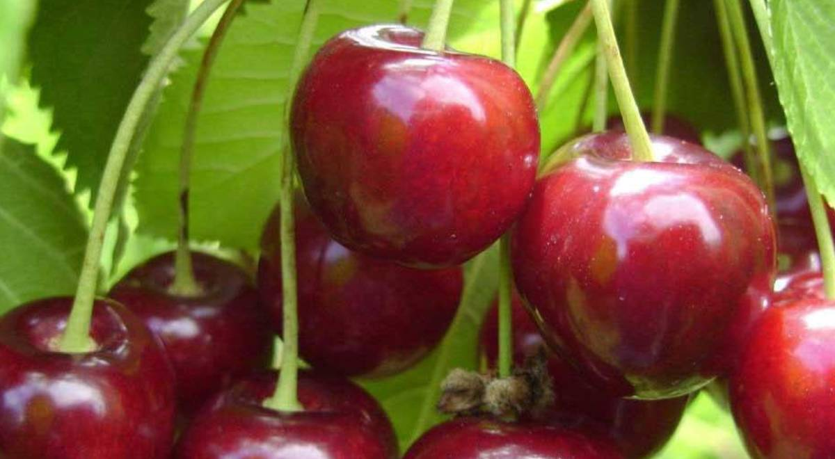 Ingrasamintele necesare pentru fertilizarea unui cires