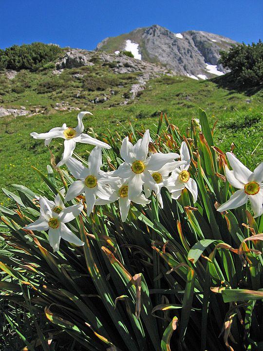 Narcise Narcissus poeticus