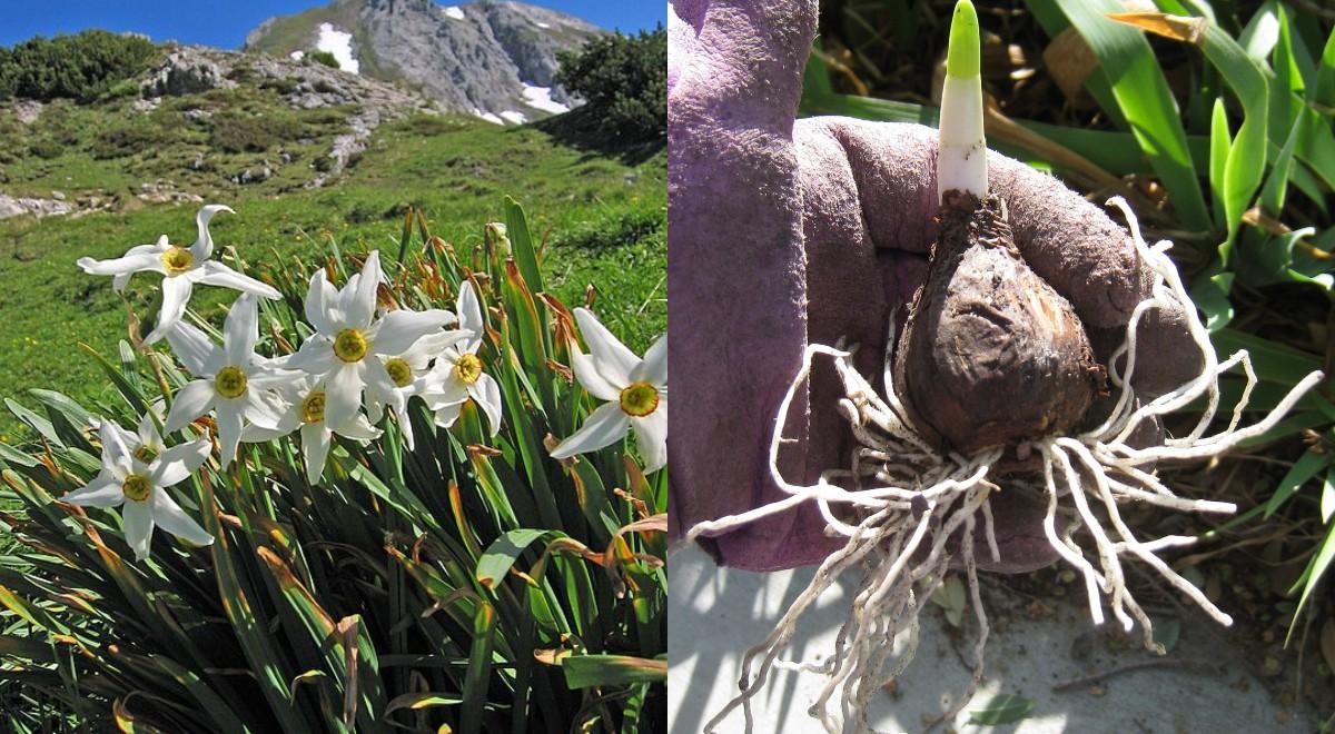 Narcise (Narcissus spp)_ descriere, ingrijire, inmultire