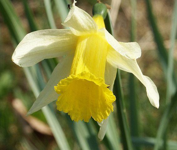 Narcise Narcissus pseudonarcissus